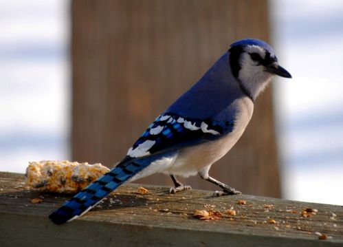 Bluejays are awesome
